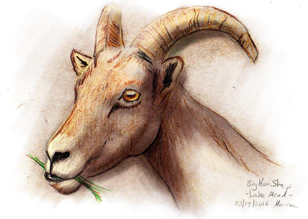Colored Pencil and Digital drawing of a Bighorn Sheep