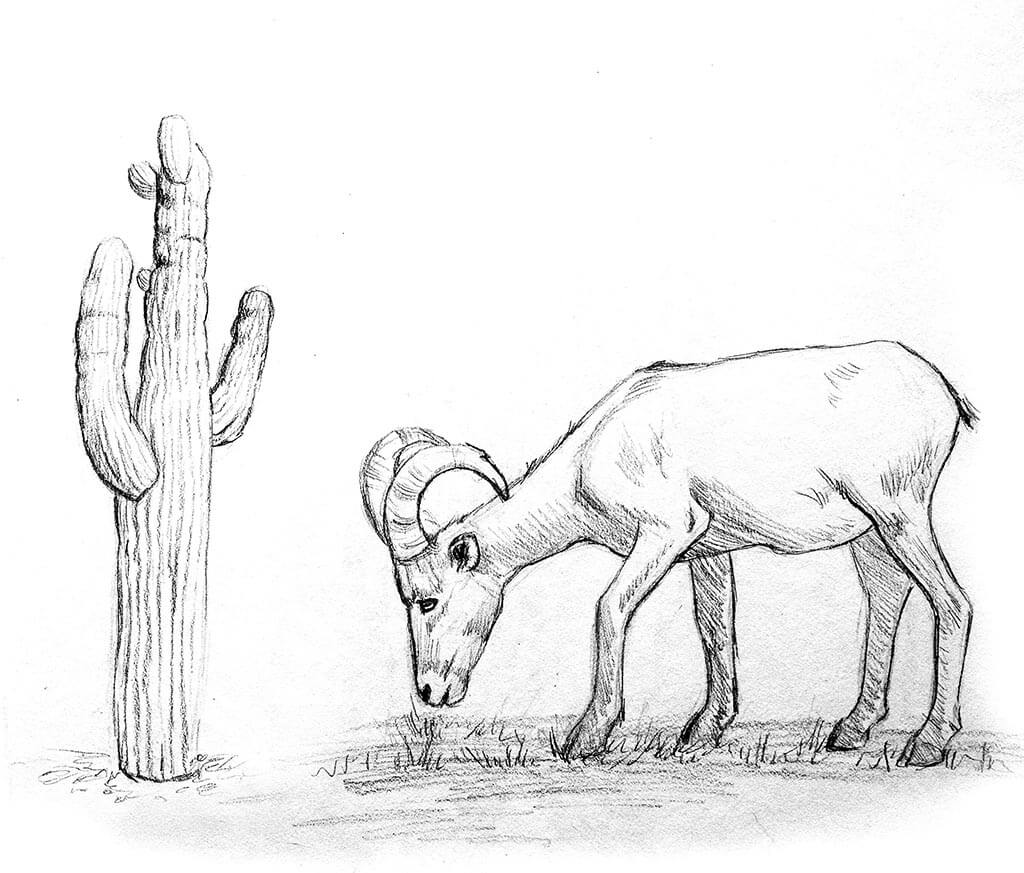 Big horn sheep drawing artwork