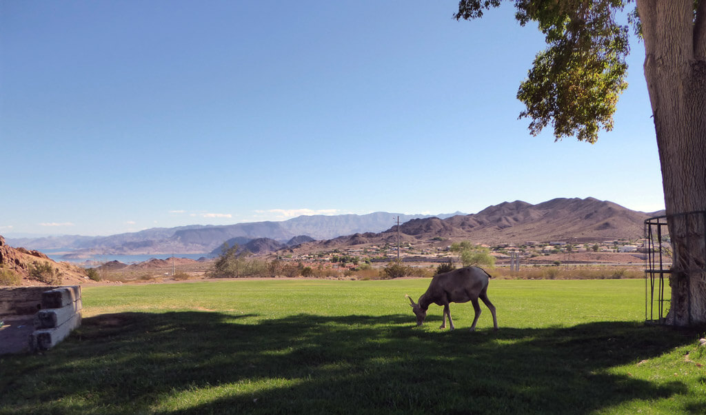 A Desert Bighorn Sheep grazes on the grass in Hemenway Park, with Lake Mead in the background.