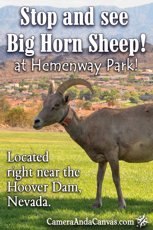 Bighorn Sheep, Hemenway Park, Boulder City, Nevada