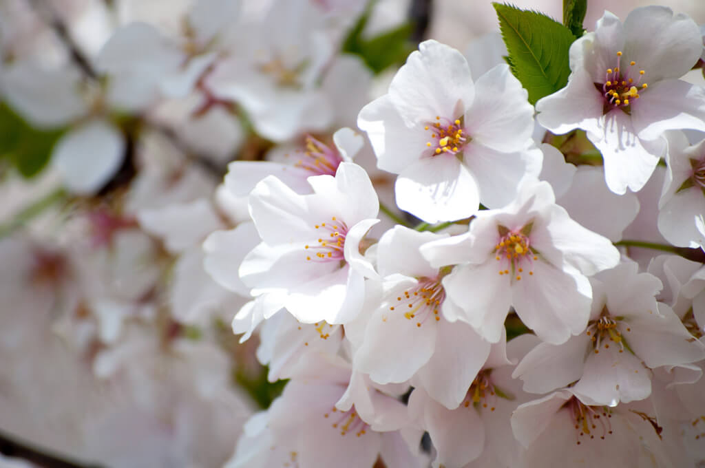 Cherry Blossoms closeup
