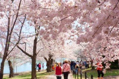 Cherry Blossom Trees Washington DC