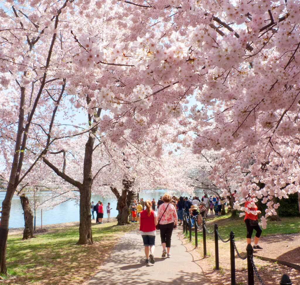 Cherry Blossoms In Washington Dc Visiting Before During Peak Bloom Camera And A Canvas