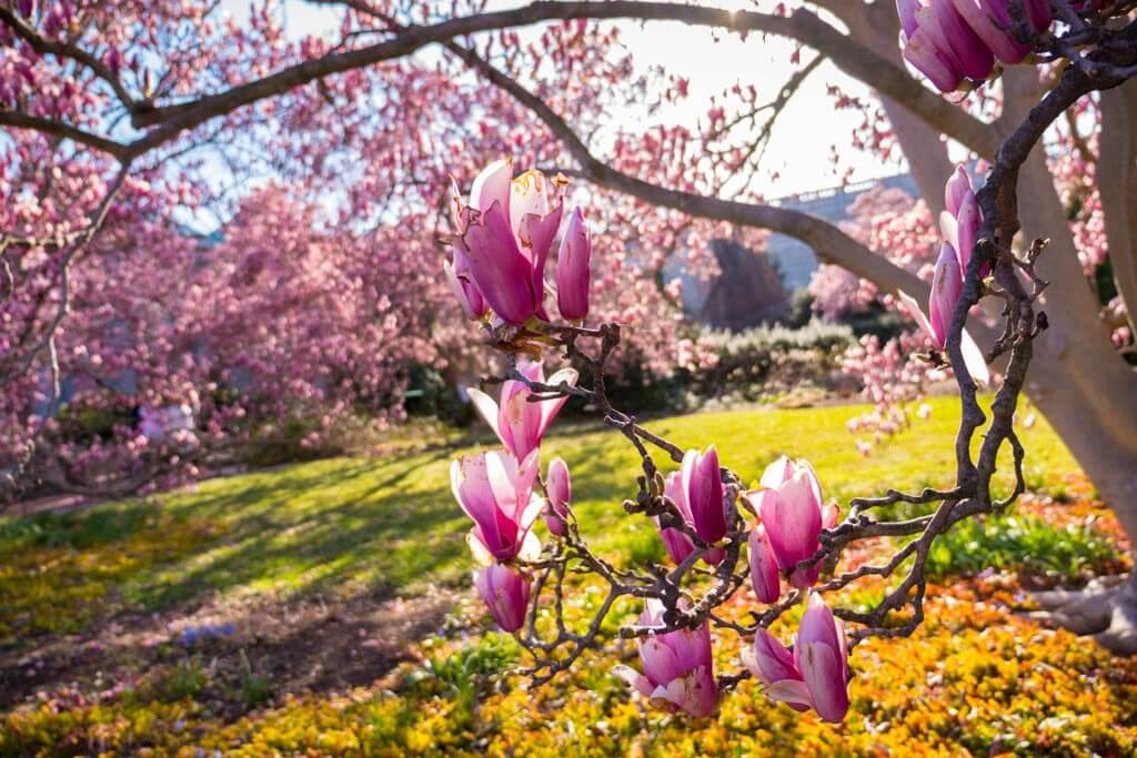Magnolia trees in Washington DC