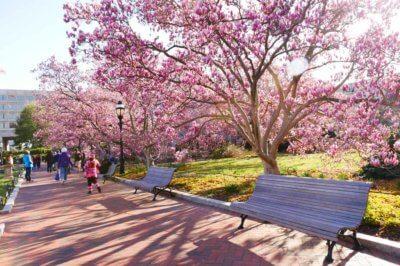 Magnolia Trees Washington DC