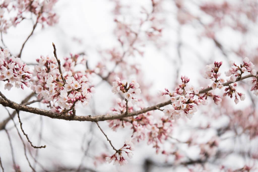 WashingtonDC Cherry Blossom branch