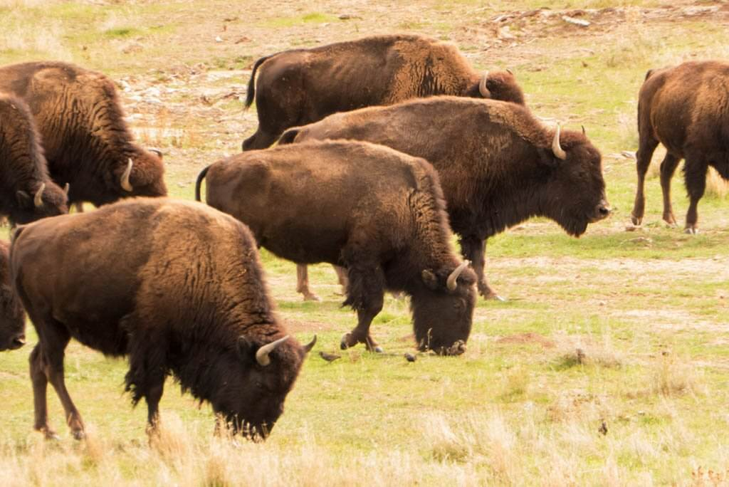 bison in the fields